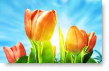 Spring Orange Tulips background